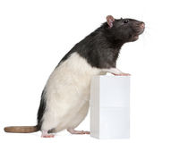 Fancy Rat, 1 year old, standing against box Stock Images
