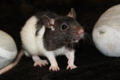 Fancy rat Stock Photos