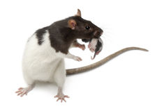 Fancy Rat carrying its baby in front of white Royalty Free Stock Photo