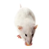Fancy rat eating piece of cheese Stock Photography