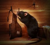 Fancy rat. Erases the apron Stock Images