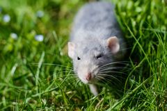 Fancy rat in green grass, Chinese New year 2020 symbol. Adorable grey dumbo fancy rat sitting in green grass and blue forget-me-not flowers. Chinese New year stock images