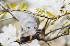 Fancy rat in magnolia blossom, Chinese New year 2020 symbol. Cute white and grey dumbo fancy rat sitting in gorgeous white magnolia blossom. Chinese New year stock images