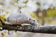 Fancy rat in magnolia blossom, Chinese New year 2020 symbol. Cute white and grey dumbo fancy rat sitting in gorgeous white magnolia blossom. Chinese New year royalty free stock photography