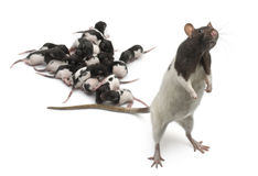 Fancy Rat next to its babies and looking away Royalty Free Stock Photo