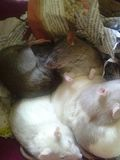 Fancy Rat Pack. My babies. Chocolate, Cupcake, Sprinkles, Cheesecake, Snowball, Ginger Royalty Free Stock Photography