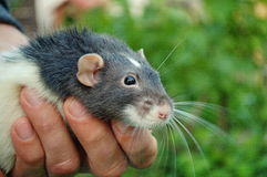 Fancy rat. Photography of fancy rat in humans hand a stock photography