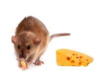 Fancy rat (Rattus norvegicus) eating cheese Stock Images