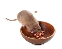 Fancy rat (Rattus norvegicus) eating peanuts from plate Stock Image