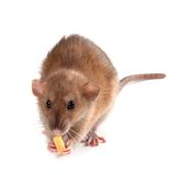 Fancy rat (Rattus norvegicus) eating piece of cheese Stock Images