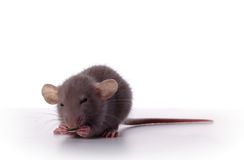 Fancy Rat with Sunflower Seed. 6 week old Fancy Rat eating a Sunflower Seed Stock Image
