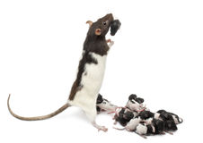 Fancy rat taking care of its babies Stock Photos