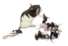 Fancy rat taking care of its babies Royalty Free Stock Image