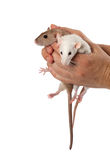 Fancy rats in hands Royalty Free Stock Photography
