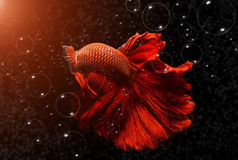 Fancy red  Betta or Saimese fighting fish. Royalty Free Stock Photos