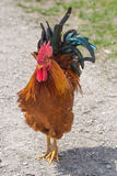 Fancy Rooster Royalty Free Stock Photo