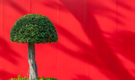 Fancy round shaped tree on the red background with the copy space. Fancy round shaped tree on the red background with shadows in the park Stock Image