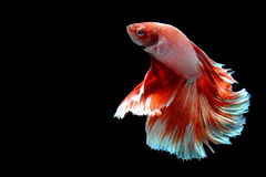 Fancy siamese fighting fish isolated on black. Beautiful color betta isolated on black Stock Photo