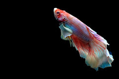 Fancy siamese fighting fish isolated on black. Beautiful color betta isolated on black Stock Photos
