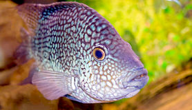 Fancy spotted  fish. In aquarium close up Stock Photography