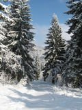 Fancy spruces picture. Fancy winter trees in the snow. In anticipation of the upcoming winter holidays. Christmas and New Year theme Royalty Free Stock Images