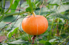 Fancy squash crop Royalty Free Stock Images