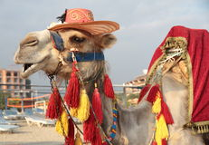 Fancy touristic camel Royalty Free Stock Images