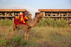 Fancy touristic camel Royalty Free Stock Photography