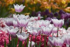 Fancy Tulip Garden Royalty Free Stock Photos