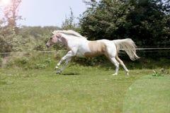Palomino stallion gallops. A fancy white-brown Palomino horse gallops on a pasture Stock Photo