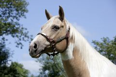 Palomino horse with halter. A fancy white-brown Palomino horse stands on a pasture Stock Photography