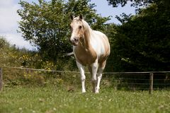 Palomino horse stands on pasture. A fancy white-brown Palomino horse stands on a pasture Royalty Free Stock Photo