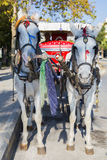 Fancy white horses with traditional carriage closeup on the street Royalty Free Stock Photos