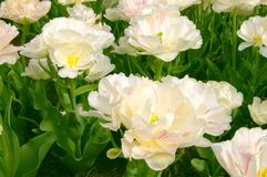 Fancy White Tulips. With green foliage Royalty Free Stock Photography
