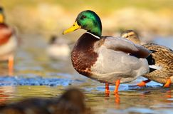 Wild duck male in winter Royalty Free Stock Images