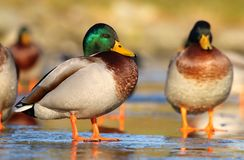 Wild ducks in winter Royalty Free Stock Photography