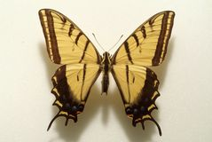 Fancy yellow butterfly. With yellow and black markings Stock Images