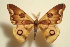 Fancy yellow moth. With circular markings Royalty Free Stock Photography