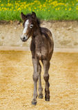 Fandango. Is the name from this newborn foal Royalty Free Stock Photography