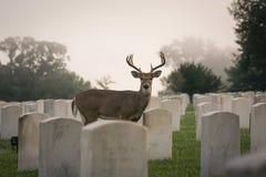 fanfarrão Branco-atado dos cervos Foto de Stock Royalty Free