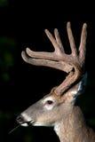 fanfarrão Branco-atado dos cervos com antlers de veludo foto de stock royalty free