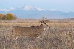 fanfarrão Branco-atado nas planícies altas de Colorado Imagens de Stock Royalty Free