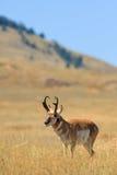 Fanfarrão do antílope de Pronghorn Fotos de Stock Royalty Free