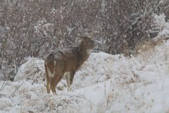 Fanfarrão do Whitetail na neve Fotografia de Stock
