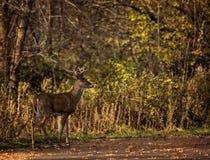 Fanfarrão dos cervos da cauda branca Foto de Stock