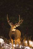 Fanfarrão dos cervos de mula Imagem de Stock