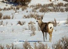 Fanfarrão dos cervos de mula fotografia de stock royalty free
