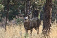 Fanfarrão dos cervos de mula Foto de Stock Royalty Free