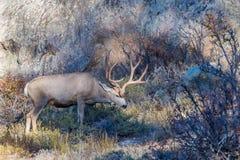 Fanfarrão dos cervos de mula Imagens de Stock Royalty Free