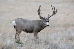 Fanfarrão dos cervos de mula - cervo selvagem nas planícies altas de Colorado Imagem de Stock